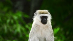 Vervet monkey sitting and looking around on Green trees blurred background - stock footage