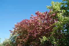 Pink apple-tree flowers Stock Photos