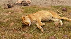 Lion is sleeping in savanna. Safari. Africa - stock footage