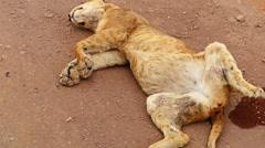 Lion is sleeping. Safari. Africa. Tanzania. Travel tourism wild nature - stock footage