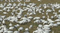 Snow Geese Flock Eating in Field - Medium Low Stock Footage