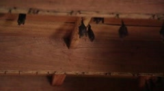 Bats perched on a wooden ceiling Stock Footage