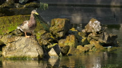Duck standing in the sun,next to a lake in Burggarten, Vienna Stock Footage