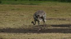 African Ostrich walking in savanna. Safari. Africa. - stock footage