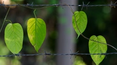 Wine plant on the metal wire Stock Footage