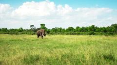 Wild Elephant slow walking in savanna. Africa. Kenya. Safari. Masai Mara Stock Footage