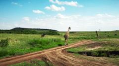 Africa. Kenya. Safari. Wild Giraffe slow moving around savannah. Masai Mara - stock footage