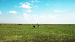 African Ostrich walking in savanna. Safari. Africa - stock footage