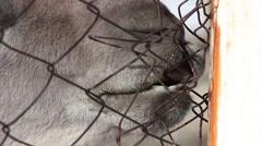 muzzle llama biting the mesh of the fence, Karakol zoo, Kyrgyzstan, 2015 - stock footage