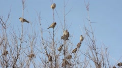 Flock of sparrows jumps from branch to branch on a spreading bush Stock Footage