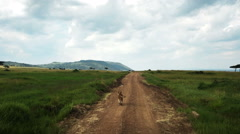 Wild Lion walking in savanna - stock footage