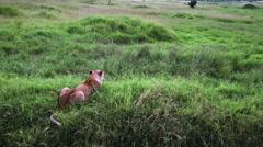 Wild Lion in savanna static camera. Safari. Africa. - stock footage