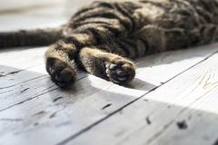 Close-up of paws from tabby cat. - stock photo