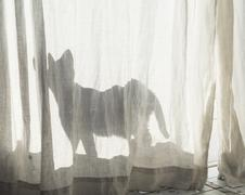 Silhouette of cat behind white curtain. Stock Photos