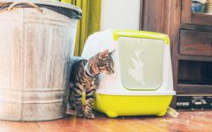 Striped grey tabby standing alongside a litter box Stock Photos