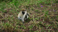Vervet monkey is sitting on ground and scratching his leg Stock Footage