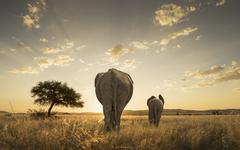 Stock Photo of Elephant and calf grazing in savanna field