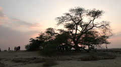 Tourist attraction in Bahrain: Tree of life during sunset. Stock Footage