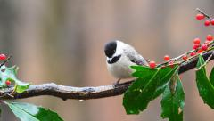 Carolina Chickadee Stock Footage