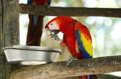 Hungry scarlet macaw eating food from dish. Stock Photos