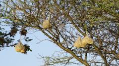 Weaver Birds Nests Africa Stock Footage