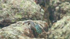 Crabs on the rock at the beach - stock footage