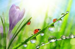 Spring flower Crocus and ladybugs on green grass with dew drops. Stock Photos