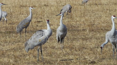 Sandhill Cranes Preen and Feed in Afternoon Light - stock footage
