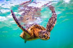 Endangered Hawaiian Green Sea Turtle Stock Photos