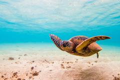 Endangered Hawaiian Green Sea Turtle Stock Photos