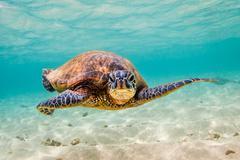 Endangered Hawaiian Green Sea Turtle - stock photo