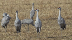 Cranes in Field Guard Warily for Danger Stock Footage