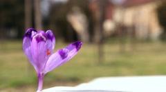 Purple crocus sprouting near a baroque castle Stock Footage