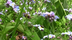 Bee looking for pollen in purple flowers scattered all over the yard 2 Stock Footage