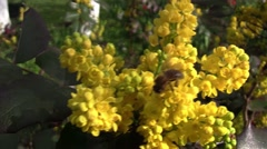 Bee looking for pollen in yellow flowers bushes of a mahogany 3 Stock Footage