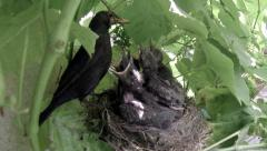 Blackbird mother feeding her babies in the nest 4 Stock Footage