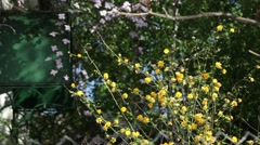 Bush with yellow flowers, small, arranged on the branches in the wind - stock footage