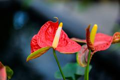 Red Flamingo Flower - stock photo