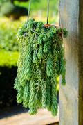 Dave ornamental plant Stock Photos