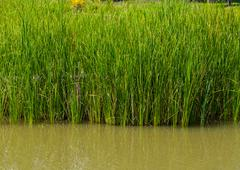 Reed field in swamp, typha angustifolia papyrus dense - stock photo