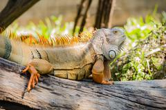 Green Iguana on wood Stock Photos