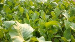 Green organic vegetable is watering Stock Footage