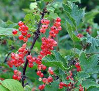Bush of a red currant Stock Photos