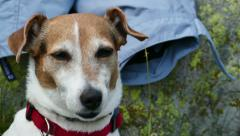 Jack Russell Terrier Portrait 4K Video Stock Footage