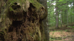 Giant tree in deep forest crane shot Stock Footage