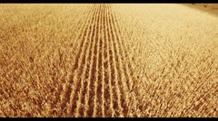 Field corn, rural meadow, nature Idea of a rich harvest. aerial shot Stock Footage