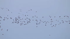 Stock Video Footage of Flock of Birds Geese flying in formation, Blue sky background.