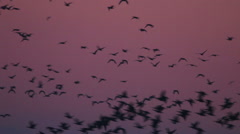 Flock of Birds, rare Geese flying in the morning Sunrise Stock Footage
