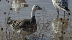 Ross Goose Close Up At Edge of Marsh Stock Footage