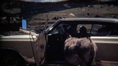 1972: Wild mule inspecting inside of classic early 70's car. Stock Footage